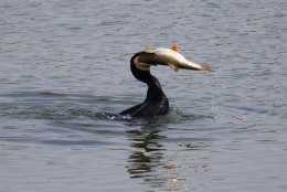 Cormorant and Roach - Eyes Bigger Than Its Belly!