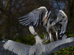 Grey Heron 01