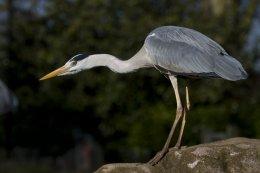 Grey Heron 05