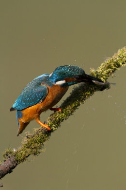 Kingfisher with fish