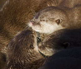 Otters 02