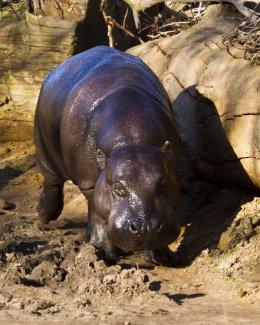 Pygmy Hippo 01