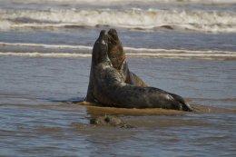 Grey Seals 02