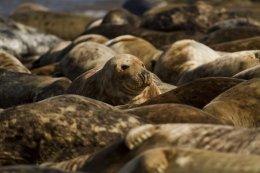 Grey Seals 05