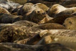 Grey Seals 06
