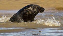 Grey Seal 07