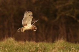 Short Eared Owl 023.7