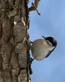 White Chested Nuthatch