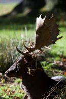 Fallow Deer Resting 2
