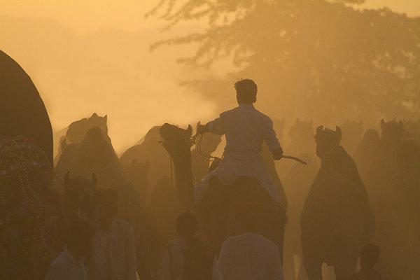 camel rider pushkar