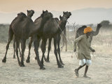 camel herder pushkar