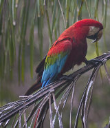 red green macaw