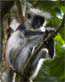 colobus monkey zanzibar