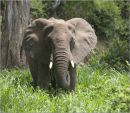 elephant,tanzania