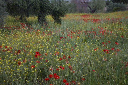 poppies andalucia