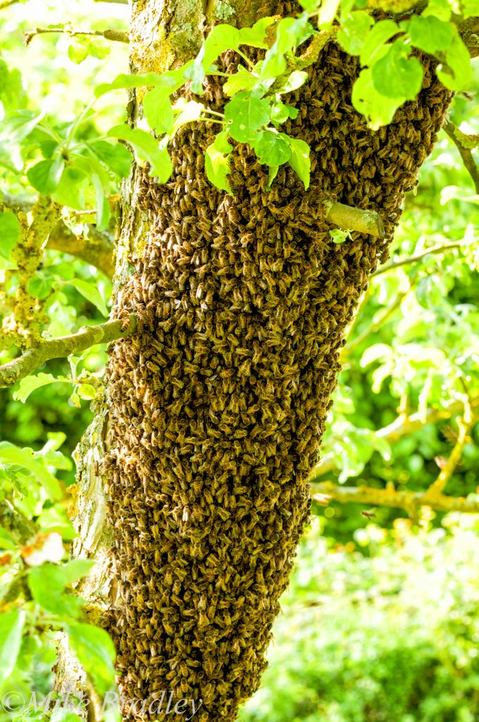 Bee Swarm