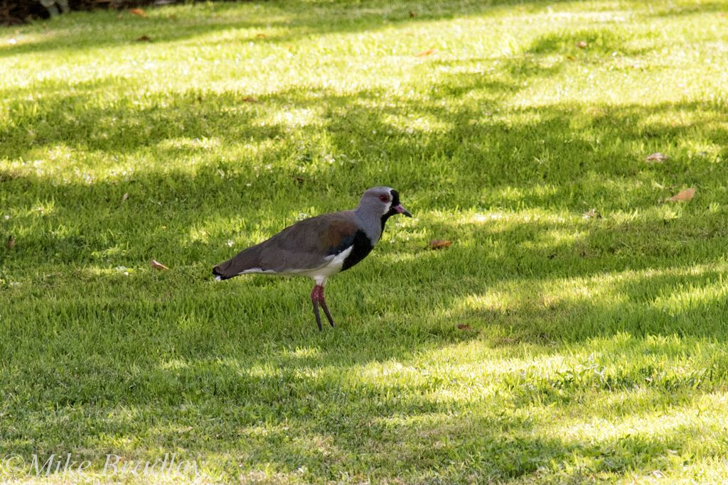 Southern Plover