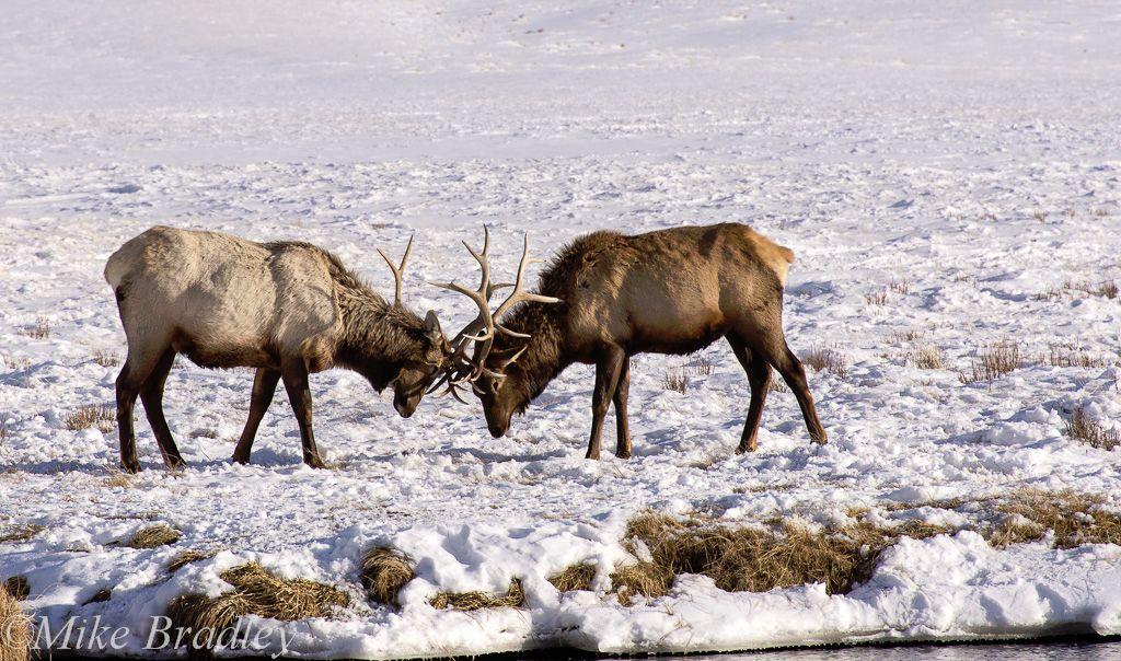 Elk Bulls