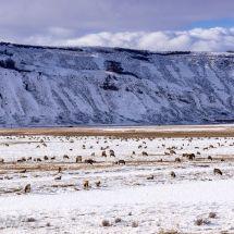 The Elk Herd