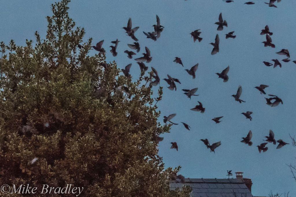 Starlings 6-1-3