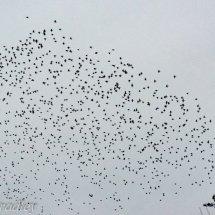 Starlings 6-1