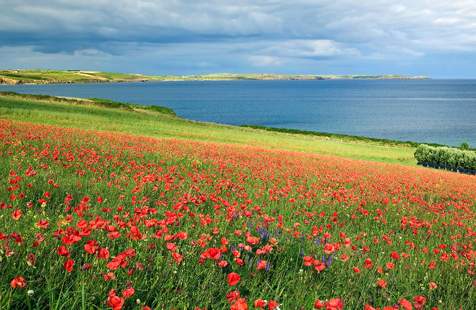Poppies, Duneen, Clonakilty, West Cork