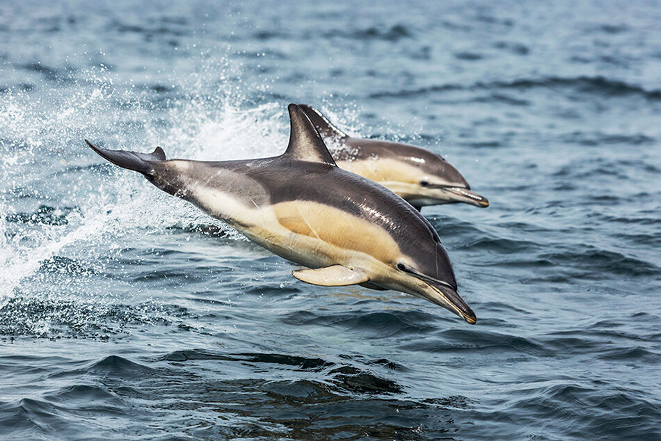 """""""Common Dolphins 2"""""""