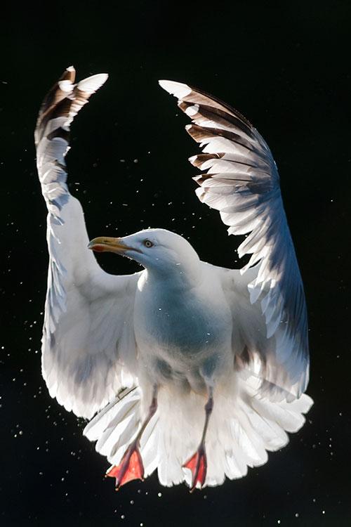 Herring gull ballet 2