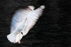 Herring gull ballet
