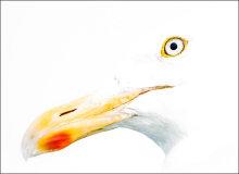Herring gull abstract