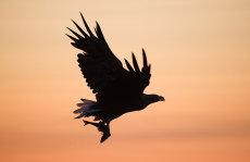 Sea Eagle at Sunset