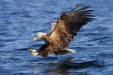Sea Eagle diving
