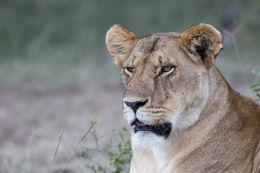 An alert lioness