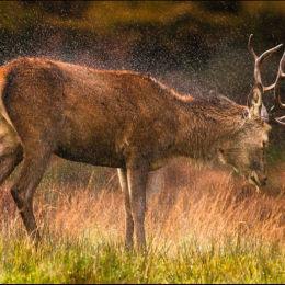 Red Deer Drying Off