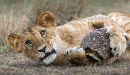 18 mos old lioness plays with a leopard tortoise