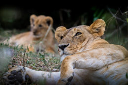 Mother and cubs protected in the bush