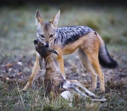 Jackal with young Thomson's Gazelle kill