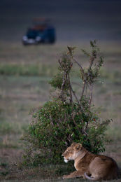 Lioness in waiting!