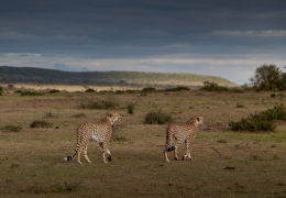 Two cheetah brothers looking for food