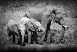 African Elephants at the waterhole