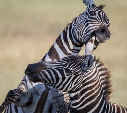 Common Zebra - Stallions fight for supremacy