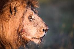 Old male lion badly injured