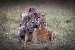 Hyena family portrait