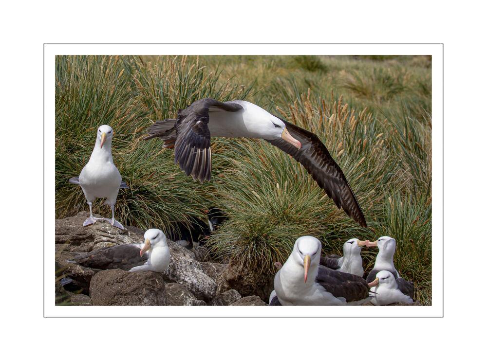 Falkland Islands, Black Browed Albatross
