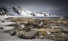 Siberian Driftwood in Arctic