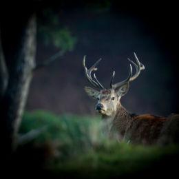 Red Deer at dawn