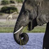 Elephants 1, Okavango