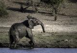 Elephants 3, Okavango