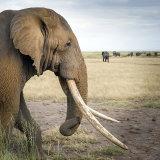 Elephants, Amboseli