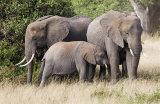 Elephants, Amboseli 2